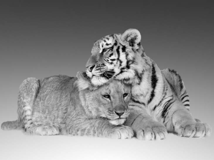tigers_fierce_cuddle