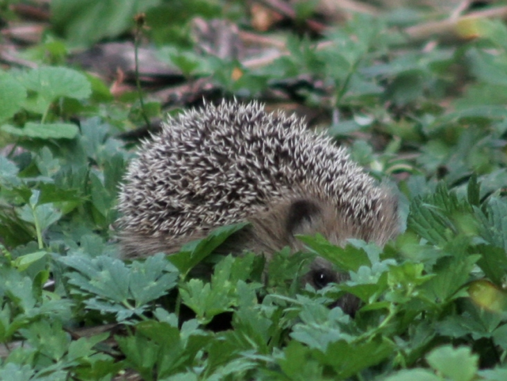 hedgehog_foliage